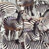 Zebra Animal Print Fabric - 4 way stretch Elastane Spandex Lycra Stretch Knit Jersey - 160cm Wide - Black & White Zebras